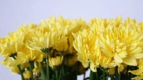 Las flores, ramo, rotación en el fondo blanco, composición floral consisten en la manzanilla amarilla del crisantemo metrajes