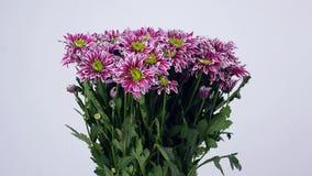Las flores, ramo, rotación en el fondo blanco, composición floral consisten en saba púrpura del crisantemo almacen de video