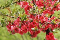 Las flores rojas brillantes en primavera Imagen de archivo libre de regalías