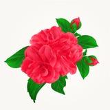 Las flores rojas de Camellia Japonica con la mano del vintage de los brotes dibujan vector ilustración del vector