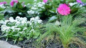 Las flores rojas de las petunias en el jardín Imagen de archivo libre de regalías