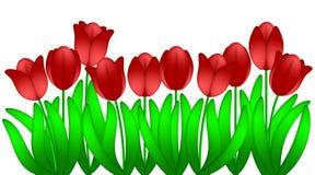 Las flores rojas de los tulipanes aislaron el fondo blanco Imagenes de archivo
