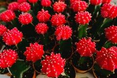 Las flores rojas del cactus en potes en el cactus hacen compras en mercado de las flores Foto de archivo