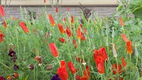 Las flores rojas del eschscholzia son florecientes y que agitan en el viento almacen de video