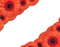 Las flores rojas del gerbera crean un marco en el fondo blanco Foto de archivo libre de regalías