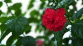 Las flores rojas del hibisco florecen en la sol de la madrugada imagen de archivo