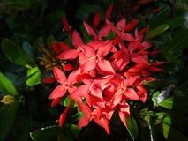 Las flores rojas del Ixora tropical plantan venir adentro florecer Fotografía de archivo libre de regalías