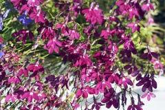 Las flores rojas del Lobelia en el jardín del verano son coloridas, el fondo Foto de archivo