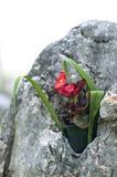 Las flores rojas están creciendo en la piedra Imagen de archivo