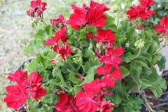 Las flores rojas ponen verde las hojas imagen de archivo libre de regalías
