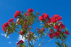 Las flores rojas que florecen en Kotor aúllan en Montenegro Imagenes de archivo