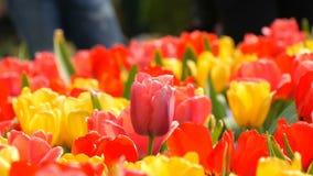 Las flores rojas y amarillas coloridas hermosas pintorescas de los tulipanes florecen en jardín de la primavera Flor decorativo d almacen de metraje de vídeo