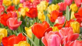 Las flores rojas y amarillas coloridas hermosas pintorescas de los tulipanes florecen en jard?n de la primavera Flor decorativo d almacen de video