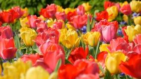 Las flores rojas y amarillas coloridas hermosas pintorescas de los tulipanes florecen en jard?n de la primavera Flor decorativo d almacen de metraje de vídeo