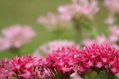 Las flores rojas y rosadas empañaron el fondo Imagen de archivo