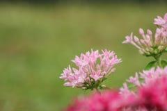 Las flores rojas y rosadas empañaron el fondo Imágenes de archivo libres de regalías