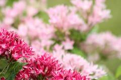 Las flores rojas y rosadas empañaron el fondo Fotografía de archivo