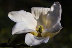 Las flores rosadas blancas de la magnolia del primer saltan fondo imagenes de archivo