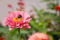 Las flores rosadas brillantes en el parque Primer Fotografía de archivo libre de regalías