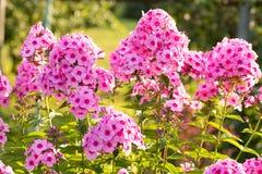 Las flores rosadas crecen en Sunny Summer Flowerbed fotografía de archivo