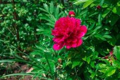 Las flores rosadas de la peonía se cierran para arriba Fotografía de archivo