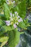 Las flores rosadas de la planta de tabaco brillan a finales del sol de la tarde Fotos de archivo libres de regalías