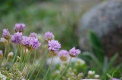 Las flores rosadas de la playa se cierran para arriba Imagen de archivo libre de regalías
