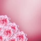 Las flores rosadas de las rosas con degradee rosado texturizan el fondo, enmarcan, se cierran para arriba Fotografía de archivo libre de regalías