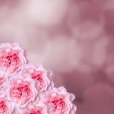 Las flores rosadas de las rosas con degradee rosado texturizan el fondo, enmarcan, se cierran para arriba Foto de archivo