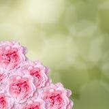 Las flores rosadas de las rosas con degradee verde texturizan el fondo, enmarcan, se cierran para arriba Imágenes de archivo libres de regalías