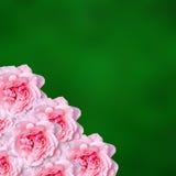 Las flores rosadas de las rosas con degradee verde texturizan el fondo, enmarcan, se cierran para arriba Fotografía de archivo