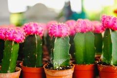 Las flores rosadas del cactus en potes en el cactus hacen compras en mercado de las flores Foto de archivo libre de regalías