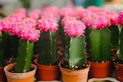 Las flores rosadas del cactus en potes en el cactus hacen compras en mercado de las flores Imagenes de archivo
