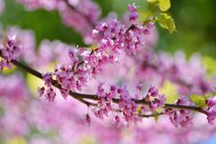 Las flores rosadas del canadiense del Cercis en la primavera cultivan un huerto Árbol de Li Fotografía de archivo