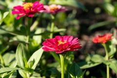 Las flores rosadas del zinia crecen en el jardín del verano debajo del sol, de las flores hermosas para la decoración y de la dec foto de archivo