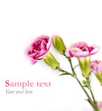 Las flores rosadas en el fondo blanco con la muestra mandan un SMS (el estilo mínimo) Foto de archivo