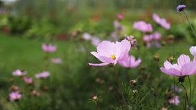 Las flores rosadas en el verano en el boticario cultivan un huerto almacen de metraje de vídeo