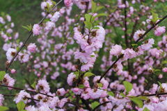 Las flores rosadas florecieron en la primavera Imagen de archivo libre de regalías