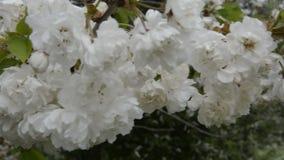 Las flores rosadas hermosas del cerezo de la primavera florecen, se cierran para arriba Flor de la abertura almacen de metraje de vídeo