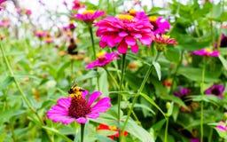 Las flores rosadas hermosas del zinnia se cierran para arriba con la abeja Foto de archivo libre de regalías