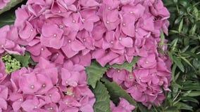 Las flores rosadas hermosas enormes magníficas de la hortensia se cierran para arriba, visión panorámica Contexto de la boda, con almacen de video