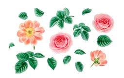 Las flores rosadas realistas de la acuarela aislaron ilustración del vector