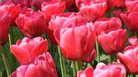 Las flores rosadas saturadas grandes hermosas frescas de los tulipanes florecen en jardín de la primavera Flor decorativo de la f metrajes