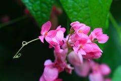 Las flores rosadas se cierran para arriba Fotografía de archivo libre de regalías
