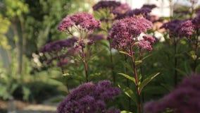 Las flores rosadas se sacuden en el viento y el verde se va en un día soleado almacen de metraje de vídeo