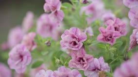 Las flores rosadas se sacuden en el viento y el verde se va en un día soleado metrajes