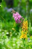 Las flores rosadas y amarillas en el prado Fotos de archivo libres de regalías