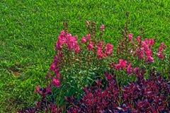 Las flores rosadas y el arbusto púrpura les gustan las plantas en un fondo de la hierba Foto de archivo