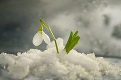 Las flores saltan los primeros snowdrops blancos en la nieve caida imagenes de archivo