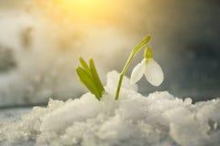 Las flores saltan los primeros snowdrops blancos en la nieve caida imagen de archivo libre de regalías